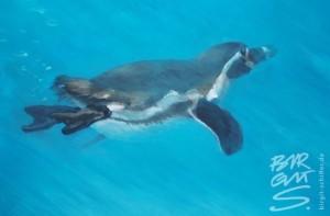 pinguin2008